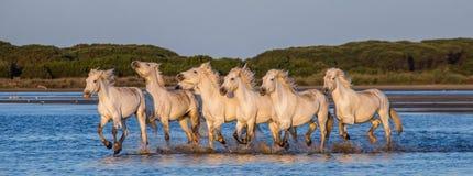 Weiße Camargue-Pferde laufen in das SumpfNaturreservat Parc Regional de Camargue frankreich Provence lizenzfreie stockfotografie