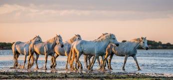 Weiße Camargue-Pferde stehen im SumpfNaturreservat Parc Regional de Camargue frankreich Provence stockbilder