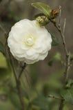 Weiße Camellia Close Up Stockfoto