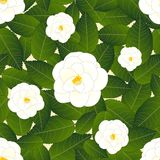 Weiße Camellia Flower auf Elfenbein-Beige-Hintergrund Auch im corel abgehobenen Betrag vektor abbildung