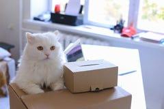 Weiße Cat Sitting auf Tabelle und möchte in großen Kasten kommen Stockfotos