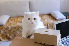 Weiße Cat Sitting auf Tabelle und möchte in großen Kasten kommen Lizenzfreies Stockbild