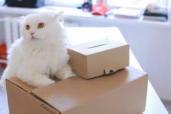 Weiße Cat Sitting auf Tabelle und möchte in großen Kasten kommen Stockfotografie