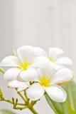 Weiße champaka Blume stockfotografie