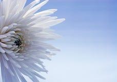 Weiße Chrysantheme stockfotografie