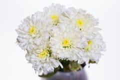 Weiße Chrysantheme Lizenzfreies Stockbild