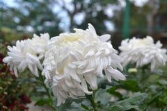 Weiße Chrysantheme Lizenzfreie Stockbilder