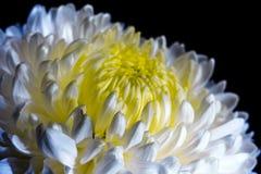 Weiße Chrysantheme auf schwarzem Hintergrund Stockfotos