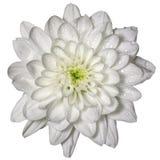 Weiße Chrysantheme mit Tautropfen Lizenzfreies Stockfoto