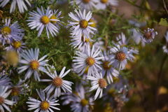Weiße Chrysanthemeblumen Lizenzfreie Stockfotos