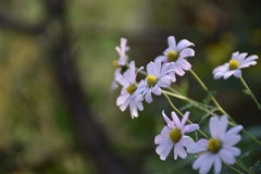 Weiße Chrysanthemeblumen Stockbilder
