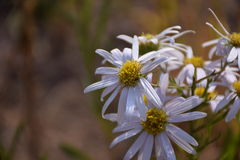 Weiße Chrysanthemeblumen Lizenzfreie Stockbilder