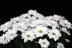 Weiße Chrysanthemen Stockfotos