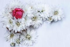 Weiße Chrysanthemen und rote Tulpen auf einem weißen Hintergrund lizenzfreie stockfotos