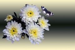 Weiße Chrysanthemen und Schmetterling Stockfotos