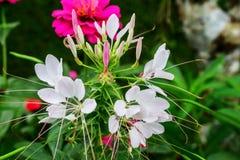 Weiße Cleomeblume stockfoto