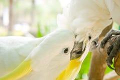 weiße Cockatoos Gelb-mit Haube Stockfotos