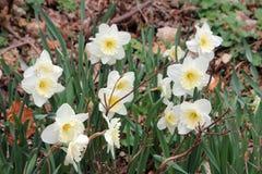 Weiße daffodiles Lizenzfreies Stockbild
