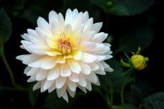 Weiße Dahlie mit der Knospe im Garten Stockfotografie