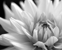 Weiße Dahlie, Schwarzweiss lizenzfreies stockfoto