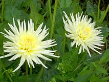 Weiße Dahlieblumen stockfotos