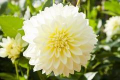 Weiße Dahlieblumen Lizenzfreies Stockfoto