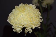 Weiße Dahlienblume Stockbild