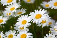Weiße Daisy Background Stockbilder