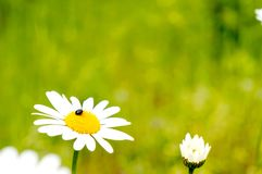 Weiße Daisy With Beetle Stockfoto
