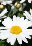 Weiße Daisy Flower Stockbild