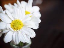 Weiße Daisy Flowers Close herauf Naturhintergrund Lizenzfreie Stockbilder
