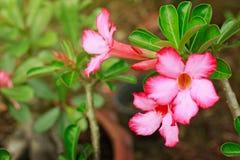 Weiße der Azaleenblumen-Impalalilie oder der Wüstenrose oder der Spottazalee treiben schöne u. rosa Blume und grünes Adenium mult Stockbilder