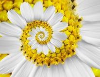 Weiße des Gänseblümchenkosmos kosmeya Blumenspiralenzusammenfassung Fractaleffektmusterhintergrundes der gelben Kamille Spiralenz Stockbilder