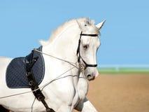 Weiße Dressurreitenpferdeanleitung Lizenzfreie Stockfotografie