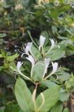 Weiße Ebene, aber empfindliche Blumen Lizenzfreie Stockbilder