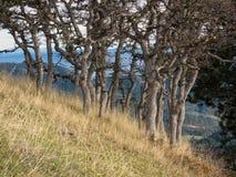 Weiße Eichen im Herbst auf Gebirgsseite Lizenzfreie Stockbilder