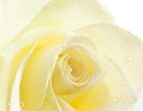 Weiße einzelne Nahaufnahme Rose stockfotografie