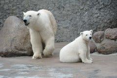 Weiße Eisbärfamilie Stockfotos