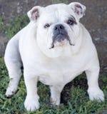 Weiße englische Bulldogge Stockfoto