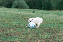 Weiße englische Bulldogge, die mit Fußball auf dem grünen Feld spielt lizenzfreie stockfotos