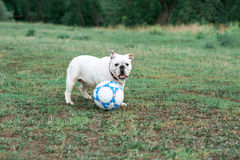 Weiße englische Bulldogge, die mit Fußball auf dem grünen Feld spielt Stockfotos