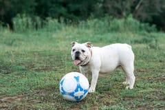 Weiße englische Bulldogge, die mit Fußball auf dem grünen Feld spielt Stockbilder