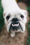Weiße englische Bulldogge, Nahaufnahme, die Kamera betrachtend stockfotografie