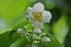 Weiße englische Hartriegelblume, Philadelphus-coronarius, süße Spott-orange blühende Pflanze im Sommerregen mit Regentropfen auf  lizenzfreie stockfotos