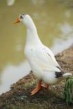 Weiße Ente Stockfotografie