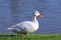 Weiße Ente Stockfoto