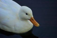 Weiße Ente Lizenzfreie Stockbilder