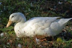 Weiße Ente Lizenzfreie Stockfotos