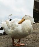 Weiße Ente Lizenzfreie Stockfotografie