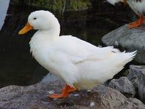 Weiße Ente Lizenzfreies Stockfoto
